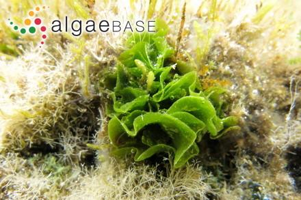 Anotrichium okamurae Baldock