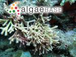 Corallina oblongata J.Ellis & Solander