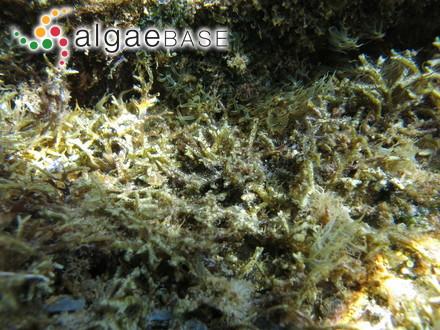Microthoe marginata (Ellis & Solander) Harvey