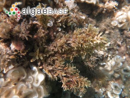 Galaxaura breviarticulata Kjellman