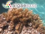 Sargassum vulgare var. megalophyllum (Montagne) Vickers