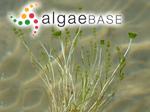 Acetabularia calyculus J.V.Lamouroux