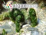 Spongia vermicularis Scopoli