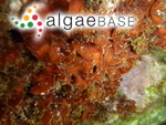 Peyssonnelia squamaria (S.G.Gmelin) Decaisne ex J.Agardh