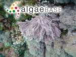 Corallina granifera J.Ellis & Solander