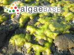 Solenia intestinalis (Linnaeus) C.Agardh