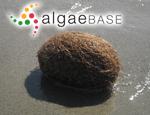 Posidonia oceanica (Linnaeus) Delile