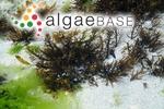 Sargassum decipiens (R.Brown ex Turner) J.Agardh