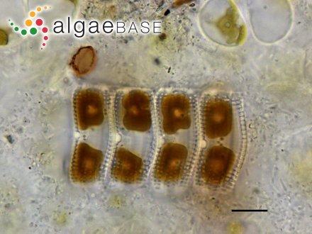 Chamaedoris auriculata Børgesen