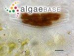 Achnanthes longipes C.Agardh
