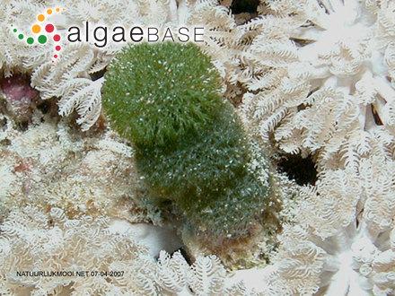Ahnfeltia furcellata Okamura