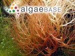 Gigartina subulata (C.Agardh) Greville