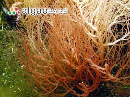 Sarcodia ceylonensis (J.Agardh) Kylin