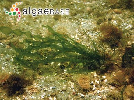 Gigartina muricata (S.G.Gmelin) J.V.Lamouroux