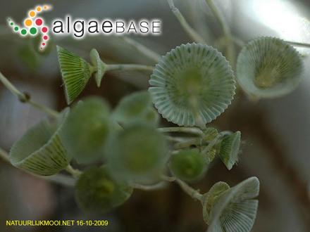 Dicranema furcellatum (Montagne) J.Agardh