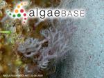 Izziella orientalis (J.Agardh) Huisman & Schils
