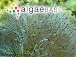 Acetabularia acetabulum (Linnaeus) P.C.Silva