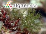 Cladophora vagabunda (Linnaeus) Hoek
