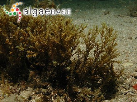 Cystoseira amentacea (C.Agardh) Bory