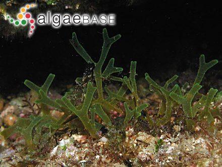 Martensia pavonia (J.Agardh) J.Agardh