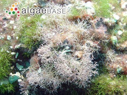 Delesseria polydactyla Reinsch