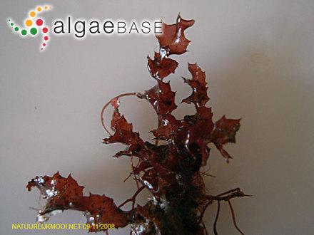 Fucus acanthophorus J.V.Lamouroux