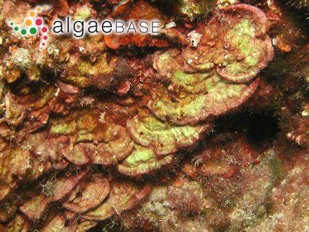 Acanthophora orientalis var. wightii (J.Agardh) Sonder