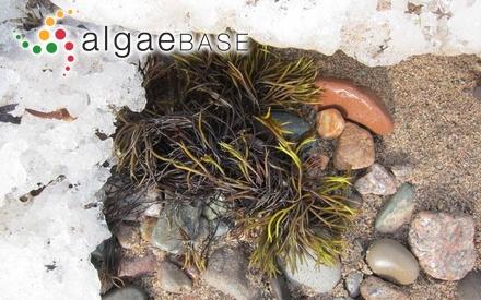 Amphibia binderi (Harvey) Kuntze