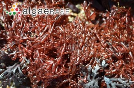 Caulerpa anceps Harvey ex J.Agardh