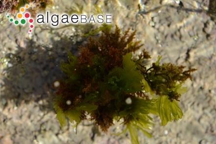 Caulerpa triangularis Mazé & Schramm