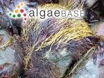 Devaleraea ramentacea (Linnaeus) Guiry