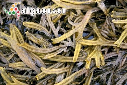 Gracilaria irregularis I.A.Abbott