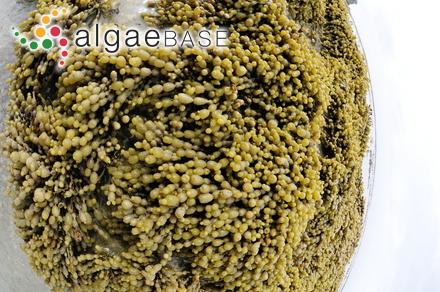 Erythrotrichia ceramicola (Lyngbye) Areschoug