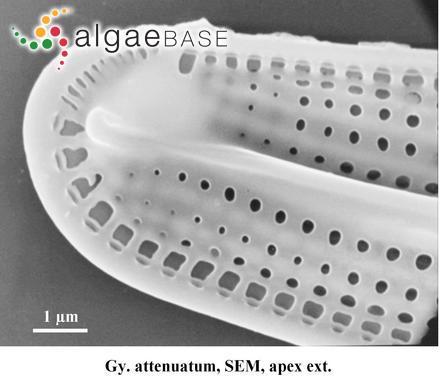 Sphacelaria furcigera var. saxatilis Kuckuck
