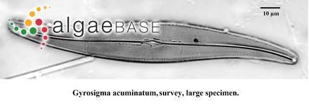 Porphyra miniata var. abyssicola (Kjellman) Rosenvinge