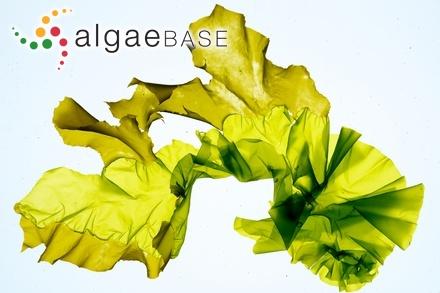 Sargassum hombronianum var. plagiophylloides Grunow