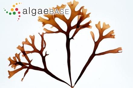 Cystoseira canariensis Sauvageau
