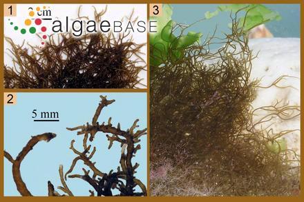 Ceramium stichidiosum var. smithii Laing