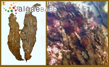 Ceramium ungulatum (Kützing) Hariot