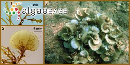 Glossopteris lyallii (J.D.Hooker & Harvey) J.Agardh