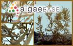 Sargassum tenerrimum J.Agardh