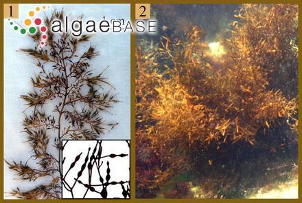 Hymenena semicostata (J.Agardh) Kylin