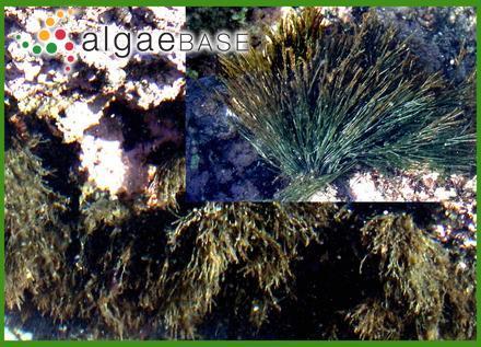 Polycoryne compacta A.D.Zinova
