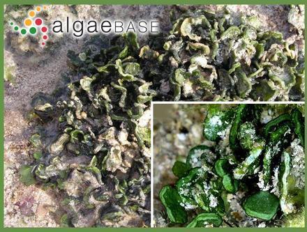 Cladosiphon filum (Harvey) Kylin