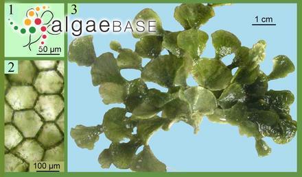 Cladosiphon vermicularis (J.Agardh) Kylin