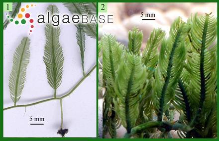 Mesogloia natalensis Kützing