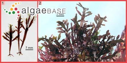 Hecatonema sargassicola Børgesen