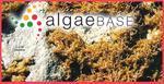 Chondria furcata C.Agardh