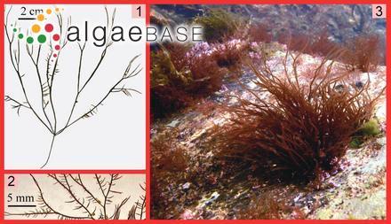 Rosenvingea fastigiata (Zanardini) Børgesen