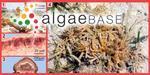 Sphaerococcus salicornia C.Agardh